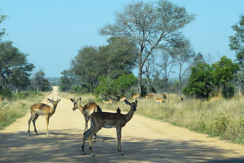 Kruger Park  - Impalas