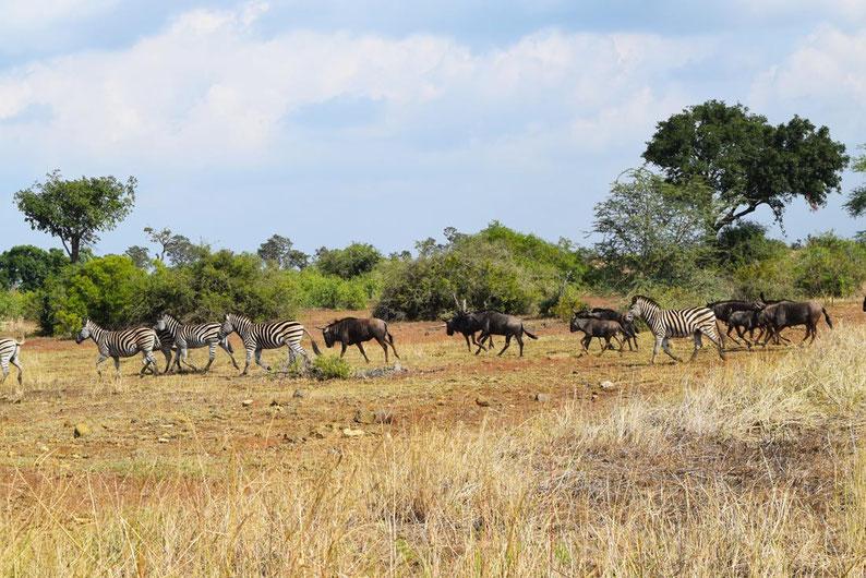 Wildlife in Kruger Park - Zebras and Wildbeests
