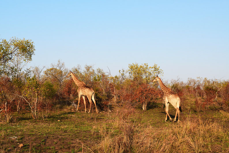 Wildlife in Kruger Park - Giraffes
