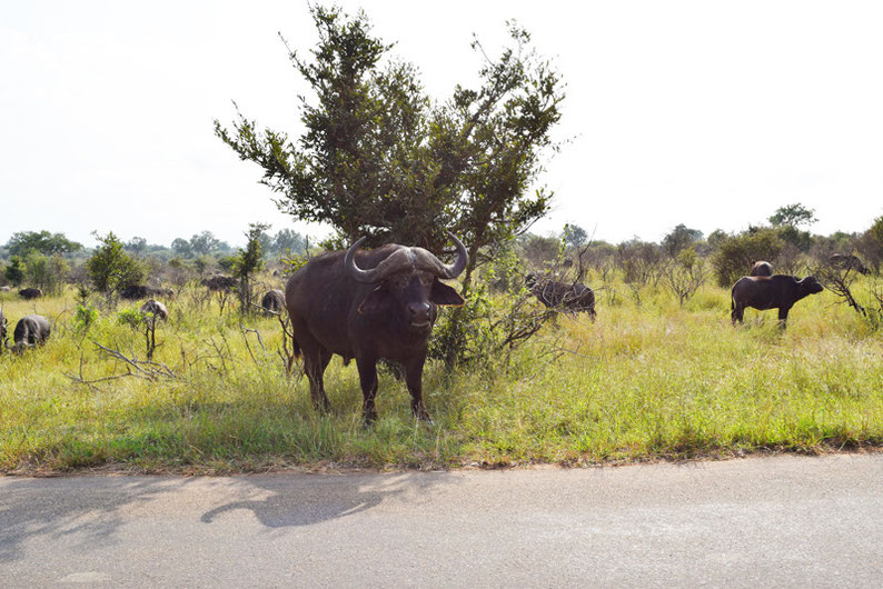 Your Guide to Kruger Park, South Africa - African Buffalos