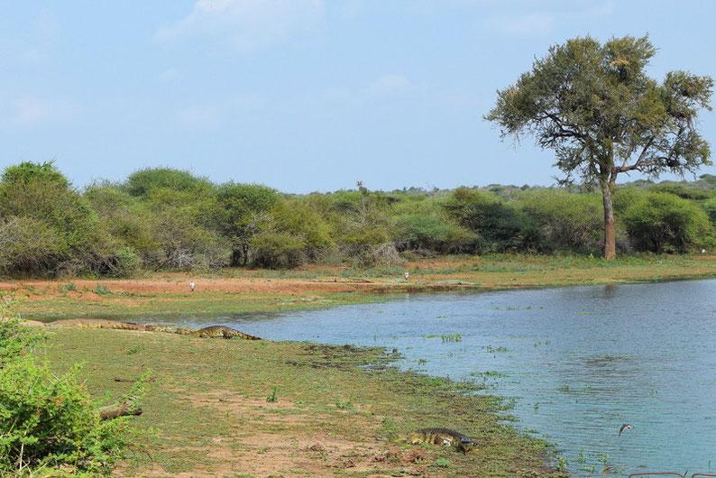 Kruger Park - Crocodiles
