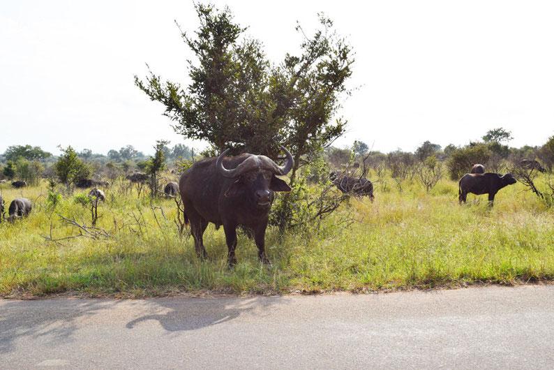 Kruger Park - African Buffalo
