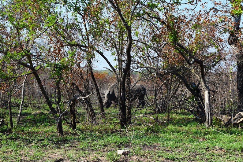 Wildlife in Kruger Park - White Rhino