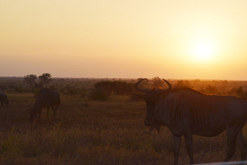 Kruger Park - Wildebeests