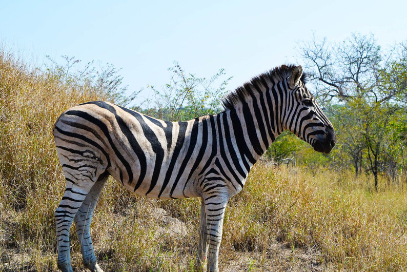 Wildlife in Kruger Park - Zebra