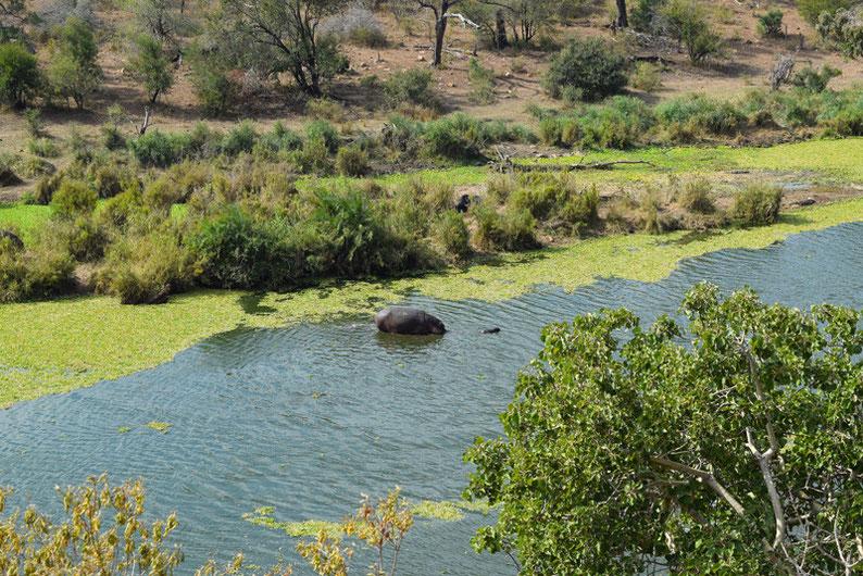 Kruger Park  - Hippo