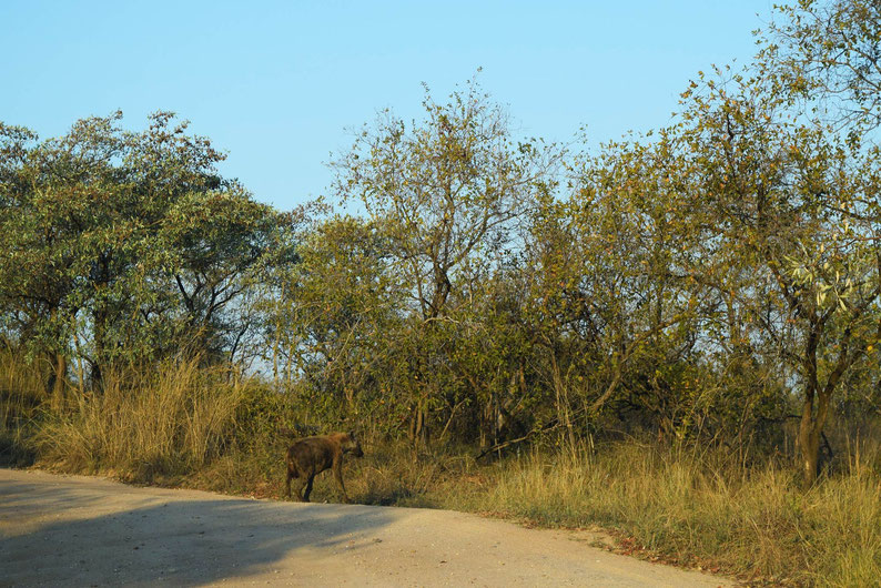 Wildlife in Kruger Park - Spotted Hyena