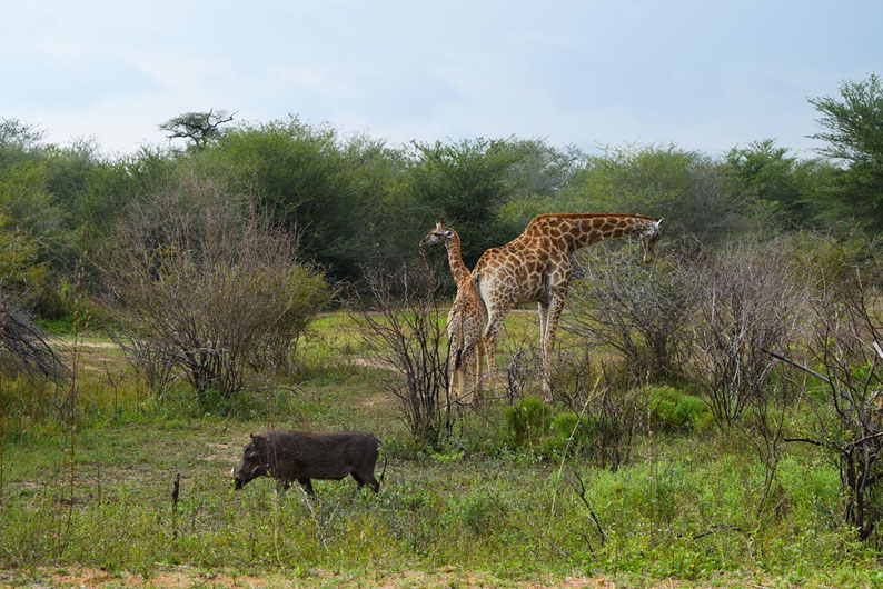 Wildlife in Kruger Park - Warthogs and giraffes