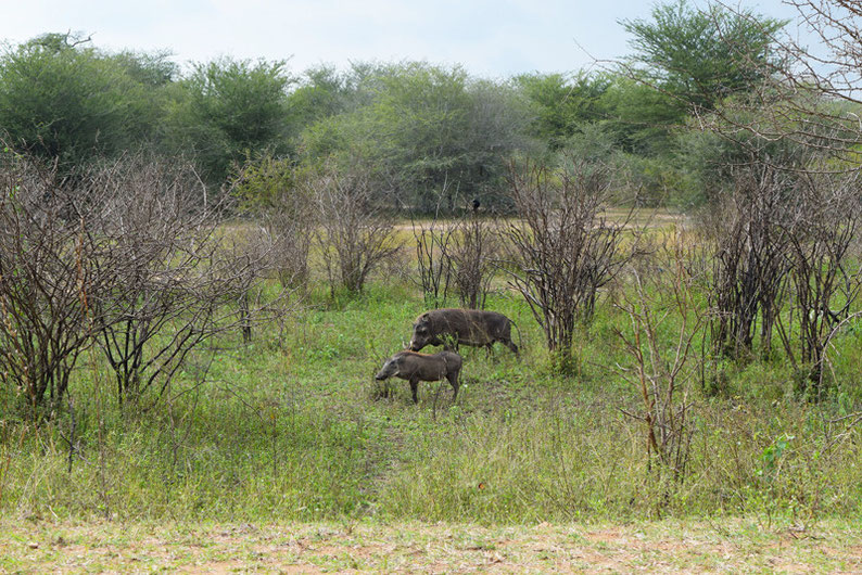Wildlife in Kruger Park - Warthog