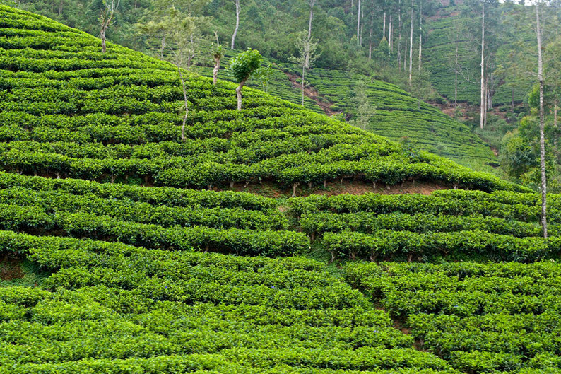 9 Days in Sri lanka - Tea plantations Ella