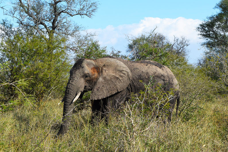 Kruger Park - Elephant