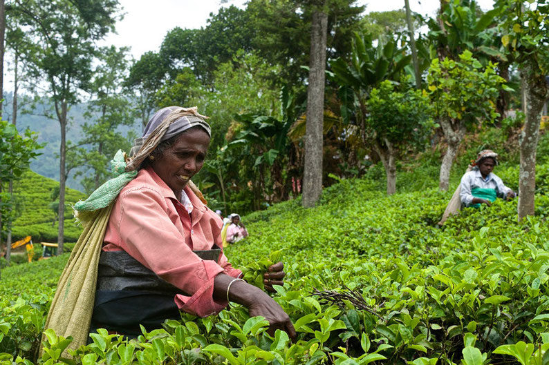 9 Days in Sri lanka - Picking Tea in Ella