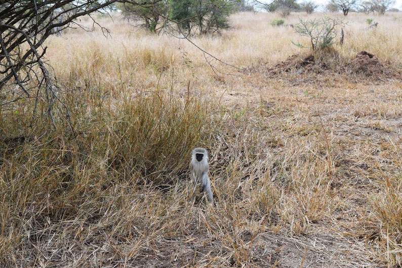 Wildlife in Kruger Park - Vervet Monkeys