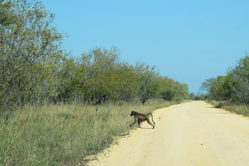 Wildlife in Kruger Park - Baboon