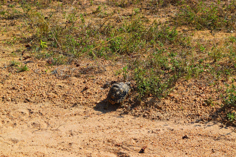 Wildlife in Kruger Park - Tortoise