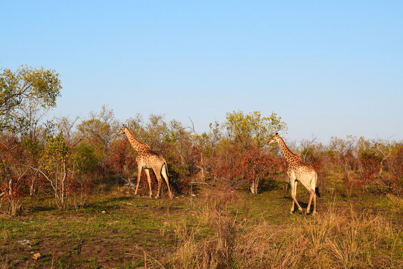 Your Guide to Kruger Park, South Africa - Giraffes