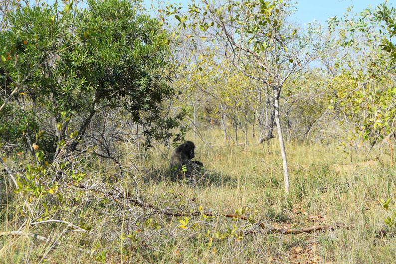 Wildlife in Kruger Park - Baboon