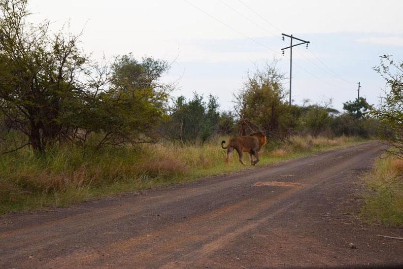 Kruger Park - Lion