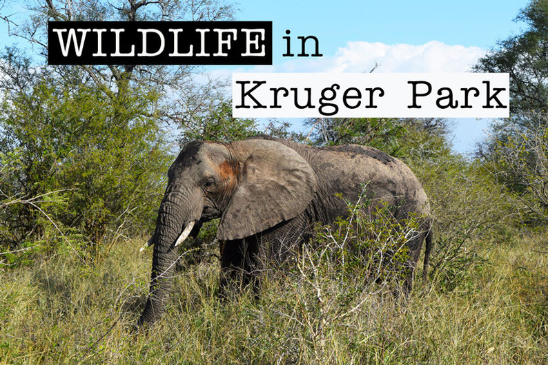 Wildlife in Kruger Park