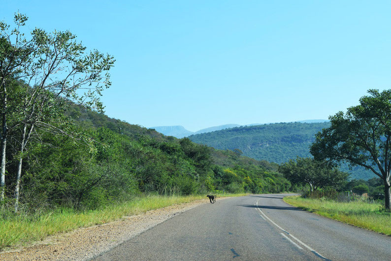 Don't skip the Blyde Canyon in South Africa - Baboon crossing the road