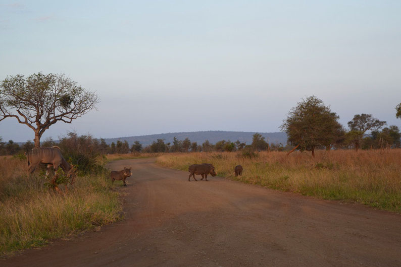 Wildlife in Kruger Park  - Warthogs and Kudus