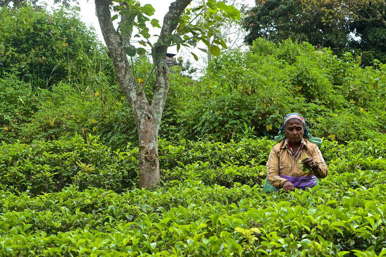 9 Days in Sri lanka - Tea Picking in Ella