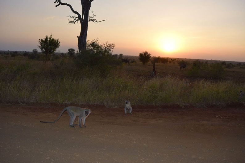 Wildlife in Kruger Park  - Vervet Monkeys and Wildebeests