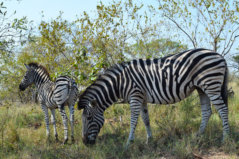Your Guide to Kruger Park, South Africa - Zebras