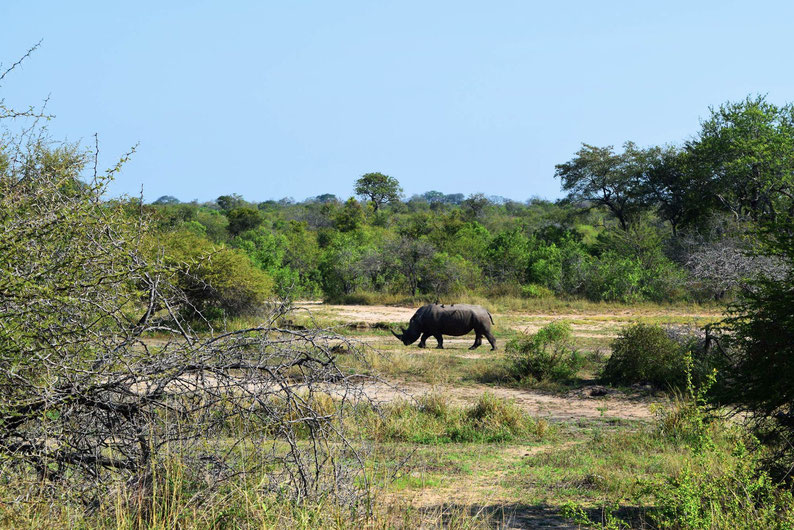 Wildlife in Kruger Park - White Rhino