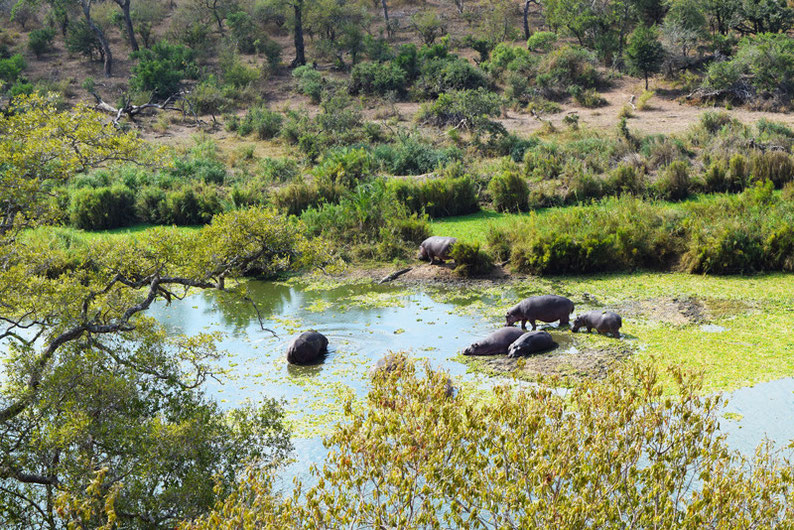 Wildlife in Kruger Park - Hippos and Crocodiles
