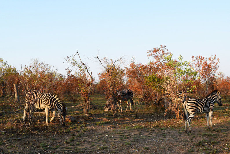 Wildlife in Kruger Park - Zebras