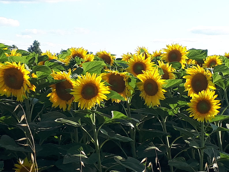Champs de tournesols, livraison de fleurs a Arcachon