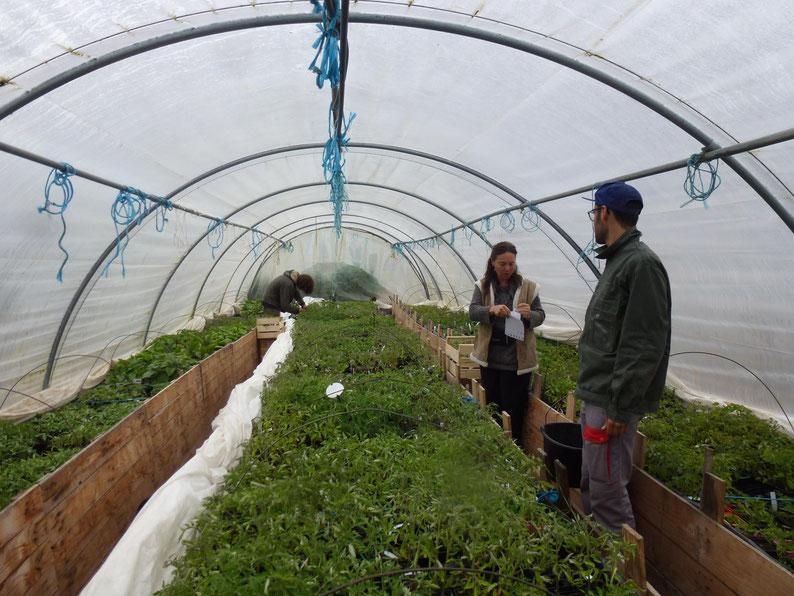 Aurore et les bénévoles d'Alônsys dans la serre des tomates