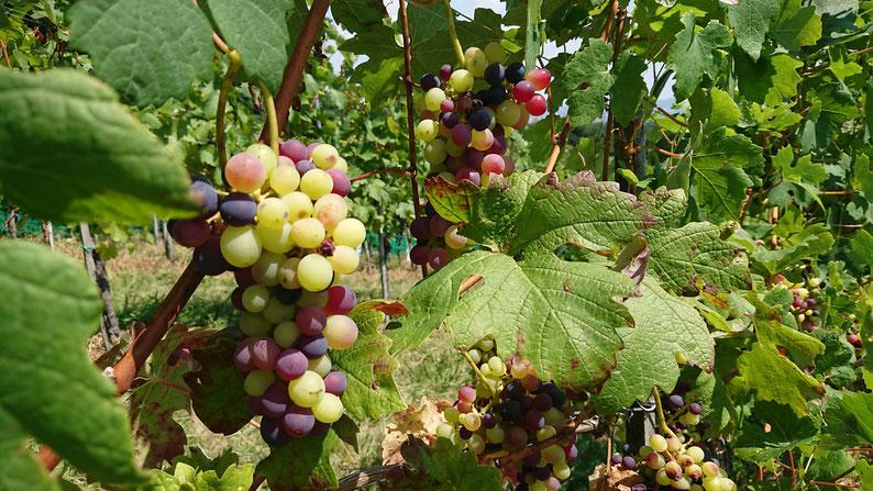 Weintrauben Weidmann Wein, Regensberg