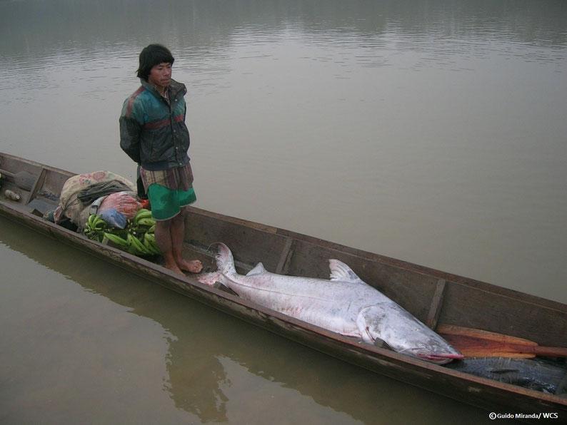 Pescador parado sobre una canoa en un río tranquilo, con una piraíba casi tan grande como él delante y un atado de plátanos detrás.