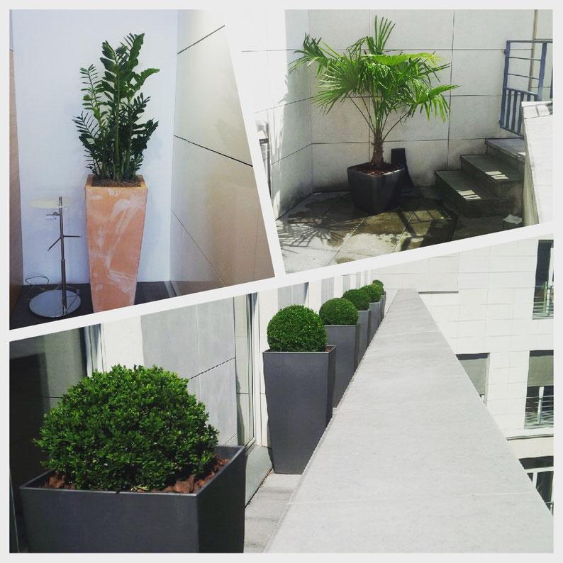 Aménagement de terrasses. Cette société nous confie l'entretien pour son siège parisien de ses espaces extérieurs et intérieurs. Ici, des Buis en boule, Un Palmier de Chine et une plante verte très résistante: un Zamioculcas.