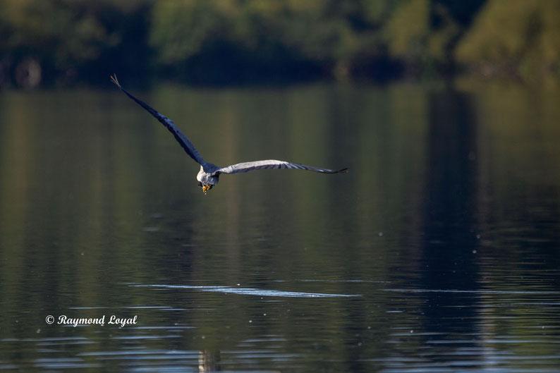 graureiher vogel flug wasser