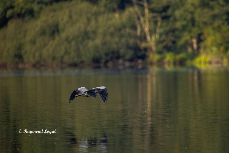 graureiher fliegend