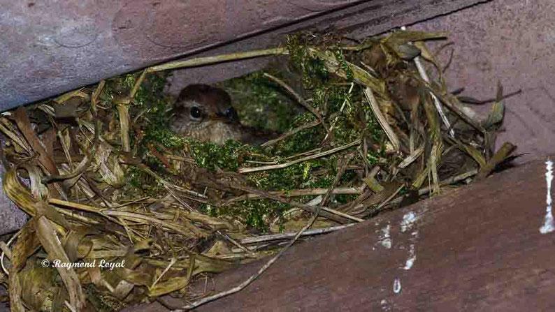 zaunkoenig im nest
