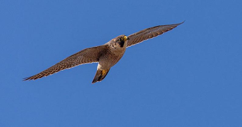 flying barbary falcon