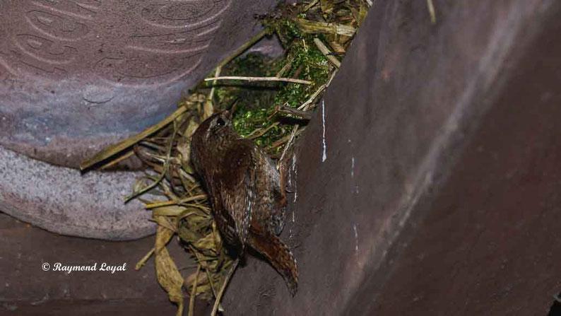 zaunkoenig am nest