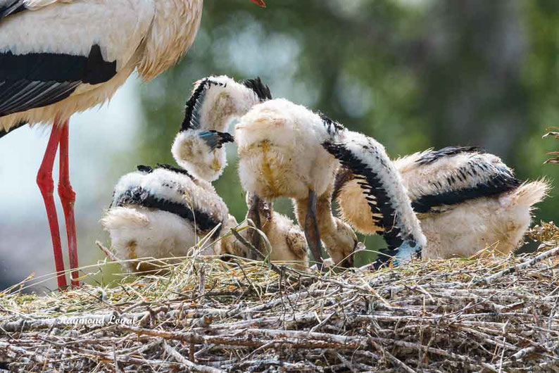 weiss storch jungvogel