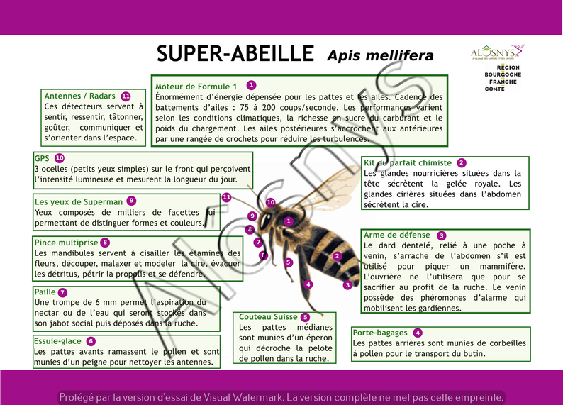 Panneau pédagogique de l'anatomie de l'abeille
