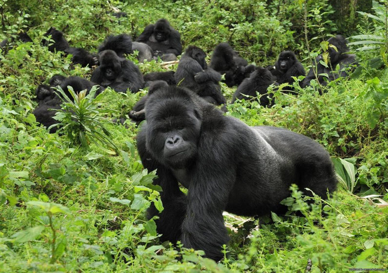 Gorilla-habituation-Bwindi.jpg