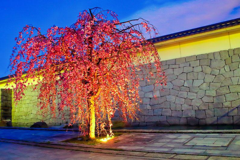 名古屋城_桜のライトアップ