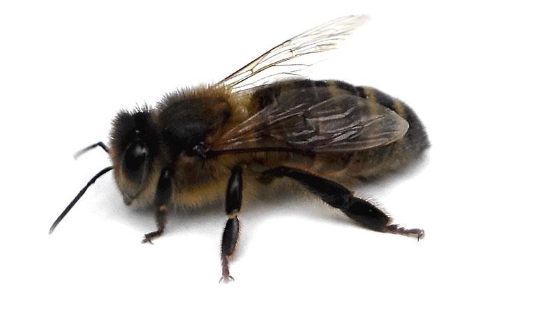 Die einheimische Dunkle Biene hat eine dunkle Panzerfärbung und schmale, helle Filzbinden.