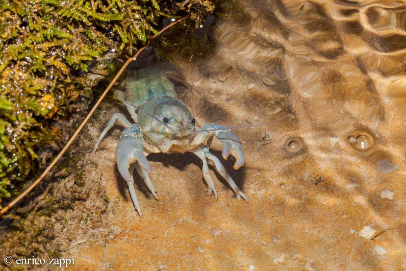 Gambero di fiume (Austropotamobius pallipes Lereboullet, 1858), vive nei ruscelli e torrenti particolarmente ossigenati con letti ghiaiosi e/o sabbiosi. E' una specie considerata in pericolo e quindi va oltremodo salvaguardata.