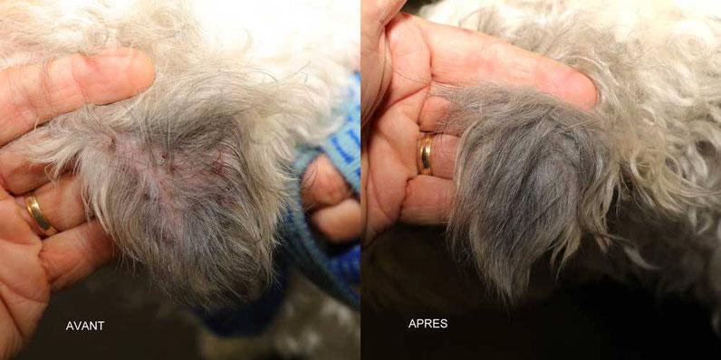 Gale sarcoptique mimant des lésions de dermatite atopique chez un chien
