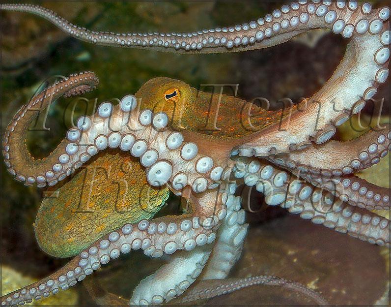 Octopus vulgaris_3189 x 2212 px