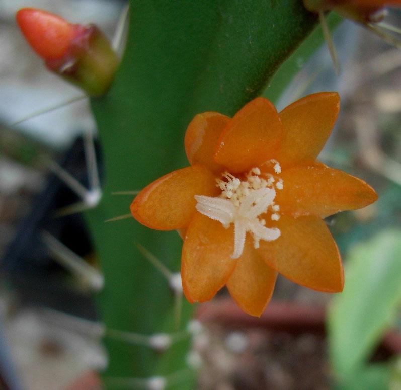 Acanthorhipsalsis monacantha